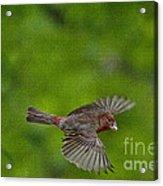 Bird Soaring With Food In Beak Acrylic Print by Dan Friend