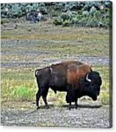 Bison In Lamar Valley Acrylic Print by Marty Koch