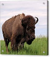 Bison On The Prairie Acrylic Print by Olivier Le Queinec