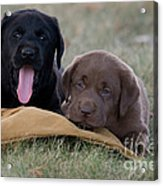 Black And Chocolate Labradors Acrylic Print by Linda Freshwaters Arndt