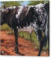 Black And White Shorthorn Steer Acrylic Print by Denise Horne-Kaplan