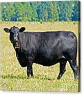 Black Angus Cattle Acrylic Print by Millard H. Sharp