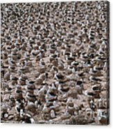 Black-browed Albatross Nesting Colony Acrylic Print by Art Wolfe
