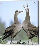 Black-footed Albatross Courtship Dance Acrylic Print by Tui De Roy