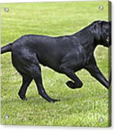Black Labrador Playing Acrylic Print by Johan De Meester