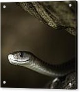 Black Mamba On Rock Acrylic Print by Rick Budai