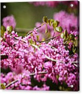Blooming Redbud Tree Cercis Canadensis Acrylic Print by Rebecca Sherman