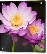 Blooming Violet  Acrylic Print by Naushad  Waheed