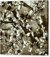 Blossoms Acrylic Print by Frank Tschakert