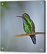 Blue-chinned Sapphire  Acrylic Print by Tony Beck