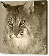 Blue Eyed Bobcat-sepia Acrylic Print by Jennifer  King
