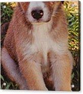 Blue Eyed Pup Acrylic Print by Dennis Nadeau