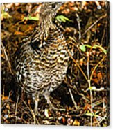 Blue Grouse Acrylic Print by Robert Bales