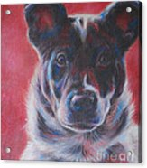 Blue Merle On Red Acrylic Print by Kimberly Santini