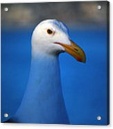 Blue Seagull Acrylic Print by Debra Thompson