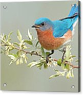 Bluebird Floral Acrylic Print by William Jobes