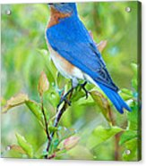 Bluebird Joy Acrylic Print by William Jobes