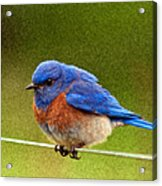 Bluebird  Painting Acrylic Print by Jean Noren