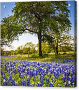 Bluebonnet Meadow Acrylic Print by Inge Johnsson
