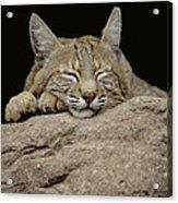 Bobcat, Arizona Acrylic Print by Art Wolfe