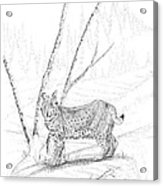 Bobcat Acrylic Print by Carl Genovese