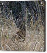 Bobcat Kitten In The Underbrush Acrylic Print by Scott Lenhart