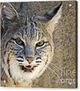 Bobcat Acrylic Print by William H. Mullins