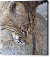 Bobcat2 Acrylic Print by Jennifer  King