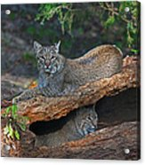 Bobcats At Rest Acrylic Print by Jean Clark