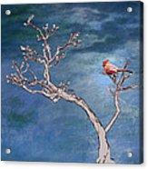 Bonsai Cardinal Acrylic Print by John Haldane