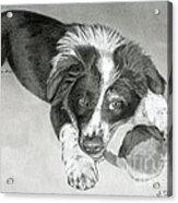 Border Collie Puppy Acrylic Print by Sarah Batalka