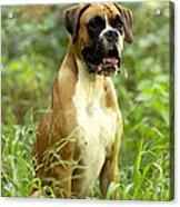 Boxer Dog Acrylic Print by Jean-Michel Labat