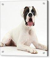 Boxer Dog Acrylic Print by Mark Taylor