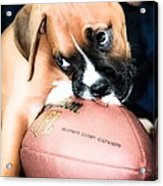 Boxer Puppy Cuteness Acrylic Print by Peggy  Franz