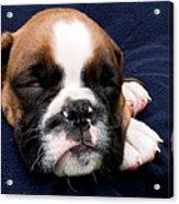 Boxer Puppy Sleeping Acrylic Print by Weston Westmoreland