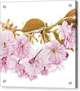 Branch With Cherry Blossoms Acrylic Print by Elena Elisseeva