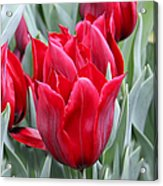 Brilliant Red Tulips In The Garden Acrylic Print by Jennie Marie Schell