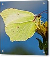 Brimstone Butterfly Acrylic Print by Science Photo Library
