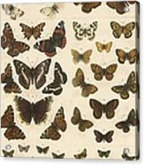 British Butterflies Acrylic Print by English School