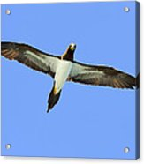 Brown Booby Acrylic Print by Tony Beck