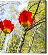 Bryant Park Tulips New York  Acrylic Print by Angela A Stanton