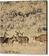 Buck And His Harem Acrylic Print by Loree Johnson