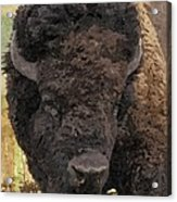Buffalo Head Acrylic Print by Sara  Raber