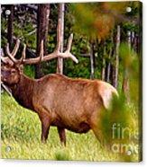 Bull Elk Acrylic Print by Bill Gallagher
