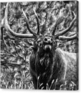 Bull Elk Bugling Black And White Acrylic Print by Ron White