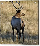 Bull Elk Surveying His Harem Acrylic Print by Bruce Gourley
