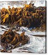 Bull Kelp Durvillaea Antarctica Blades In Surf Acrylic Print by Stephan Pietzko
