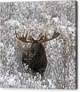 Bull Moose In Snow Acrylic Print by Tim Grams
