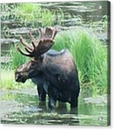 Bull Moose In The Wild Acrylic Print by Feva  Fotos