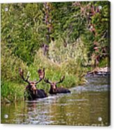 Bull Moose Summertime Spa Acrylic Print by Timothy Flanigan